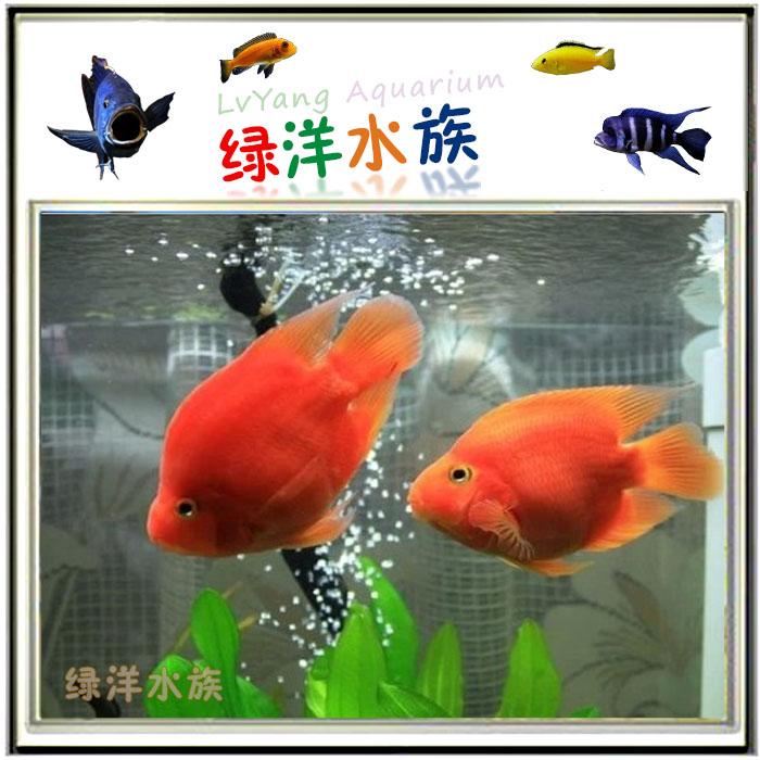 【鸚鵡·金剛】金剛鸚鵡魚 – TouPeenSeen部落格