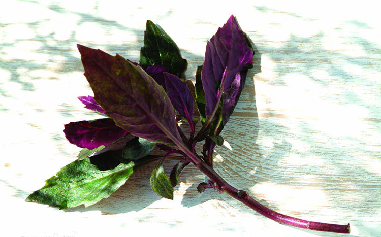 紫背菜觀音菜紫背天葵血皮菜紅鳳菜兩色三七草種苗種子新鮮蔬菜