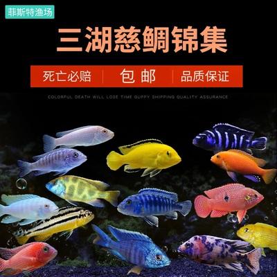 三湖慈鯛熱帶馬鯛非洲王子鳳凰魚活體淡水小型中型最好養的觀賞魚