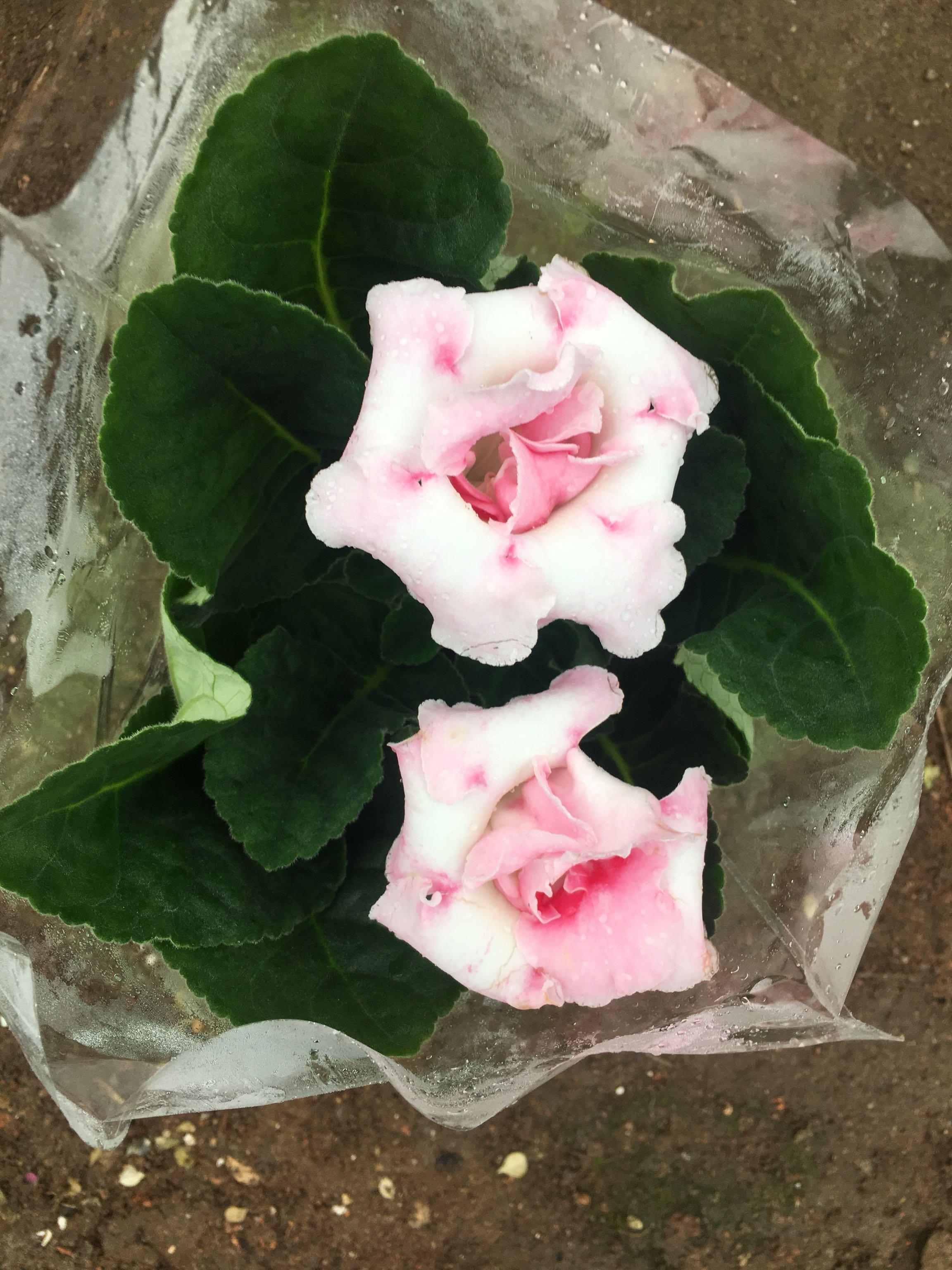 大巖桐重瓣花型 顏色有 紅色 紫色 藍色 藍白雙色紅白品種全-阿里巴巴