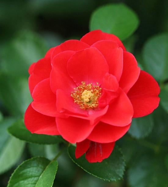 Flower Carpet Scarlet Red Roses