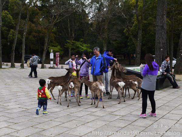 【奈良景點】世界文化遺產東大寺。奈良公園。一起來去給鹿追!
