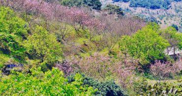 [新店賞櫻] 騰龍御櫻 千株櫻花林 隱身山林裡的粉紅山坡 現烤窯烤披薩 免門票景點