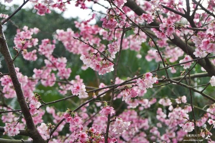 20200125230123 86 - [台北賞櫻景點]淡水天元宮 粉紅三色櫻渲染山城 雄偉天元宮與櫻花的溫柔對話