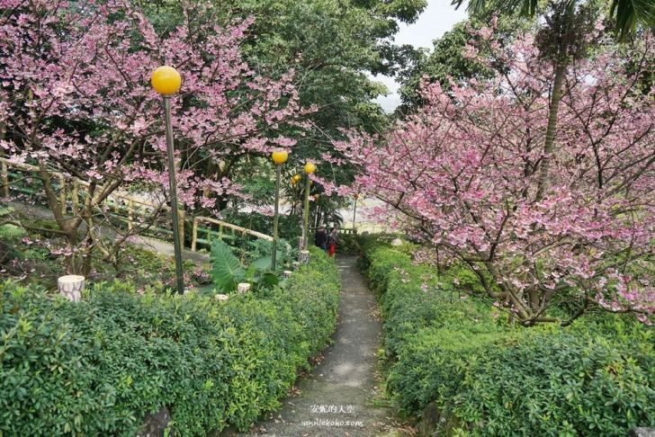 20200125230137 30 - [台北賞櫻景點]淡水天元宮 粉紅三色櫻渲染山城 雄偉天元宮與櫻花的溫柔對話