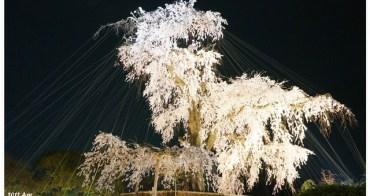 【京阪自由行】推薦必賞夜櫻 円山公園櫻王♥ 好壯觀美不盛收