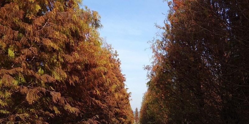 大村落羽松   大村景點,獨佔一大片美麗寧靜落羽松林,隱身田野間的整片落羽松。