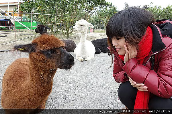 """【埔心】茂宏農場;親切的老闆,感靜整潔的羊駝農場""""遊樂園""""。"""