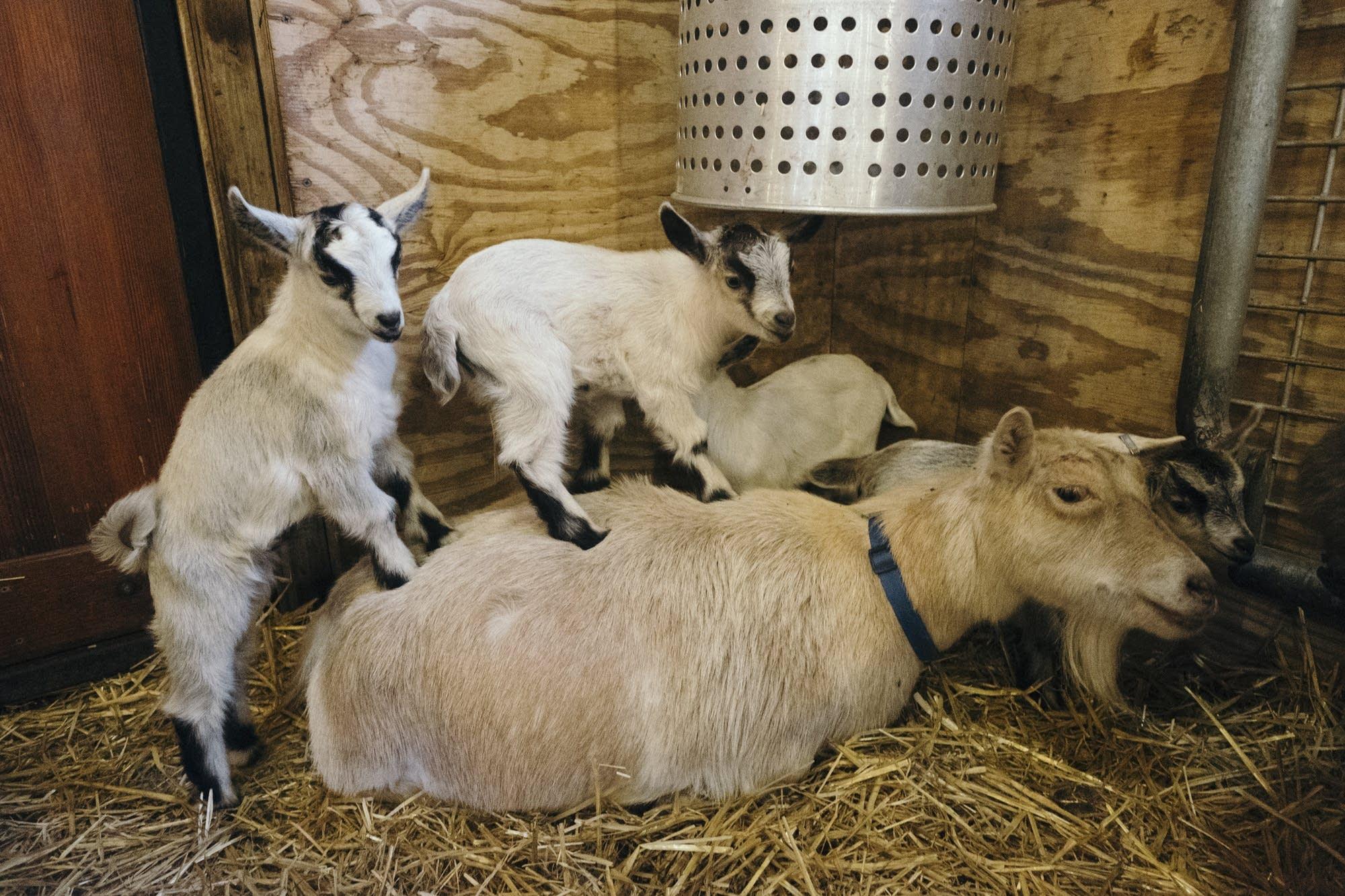 Hay Baby Newborn Farm Animals Make Their Zoo Debut