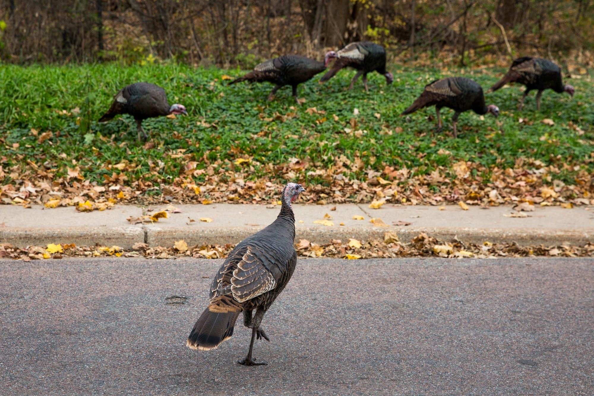 wild turkeys in the