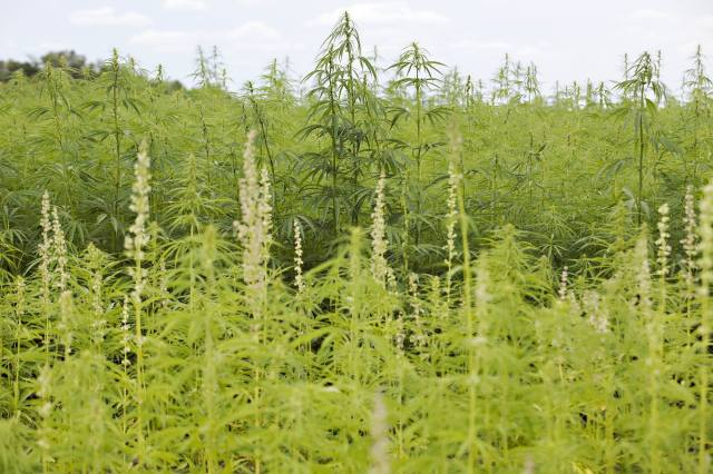 Industrial hemp plants for oil, foreground, and fiber, background.