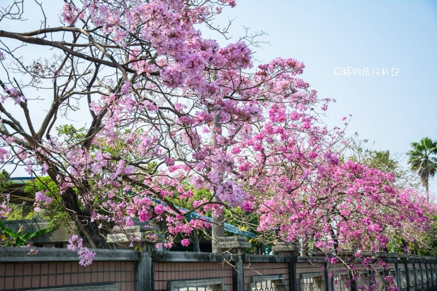 |嘉義‧西區|嘉義特殊教育學校,盛開的洋紅風鈴木