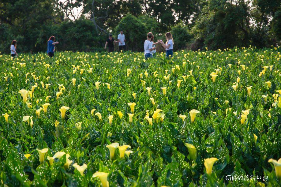 台中‧外埔 台中版竹子湖,金黃色海芋田,來一場海芋戀吧