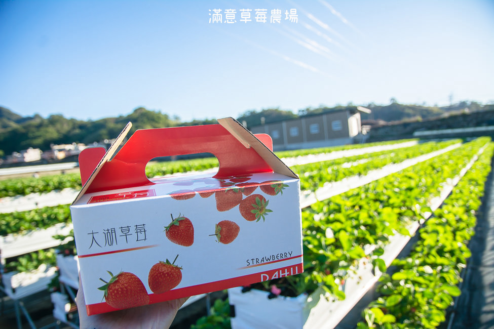  苗栗景點 滿意牛奶蜜草莓農場,高架草莓園讓你站著採草莓不腰痠