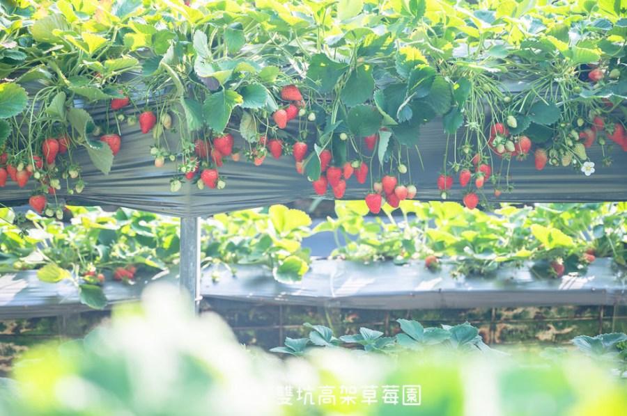 |苗栗景點|雙坑高架草莓園,結實纍纍的草莓,讓人採到不亦樂乎