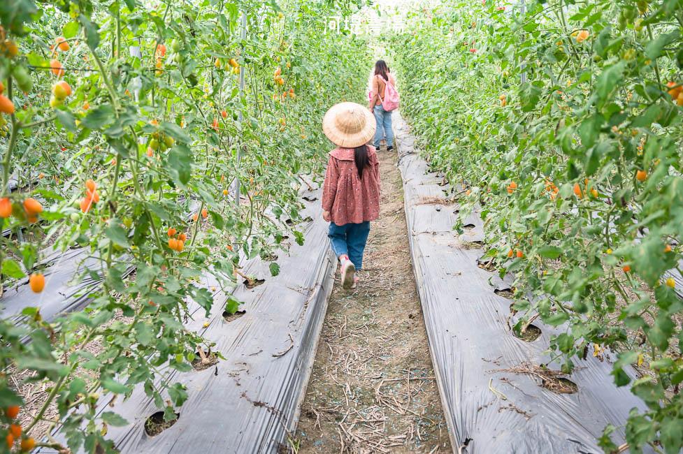 |高雄景點|河堤番茄農場,冬季限定橙蜜番茄開採中!農場內還有大草皮、瑜珈球可以玩,適合親子同遊