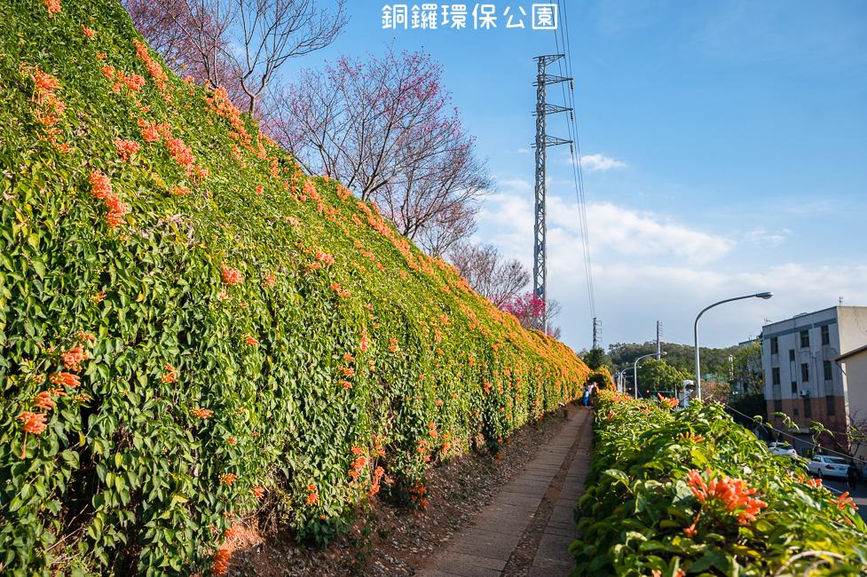  苗栗景點 銅鑼環保公園,季節限定炮仗花瀑布、夢幻櫻花步道