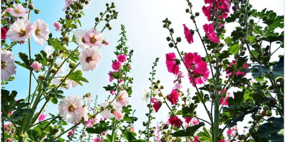 台南‧學甲 2014年唸戀蜀葵花,讓我們一起賞花趣