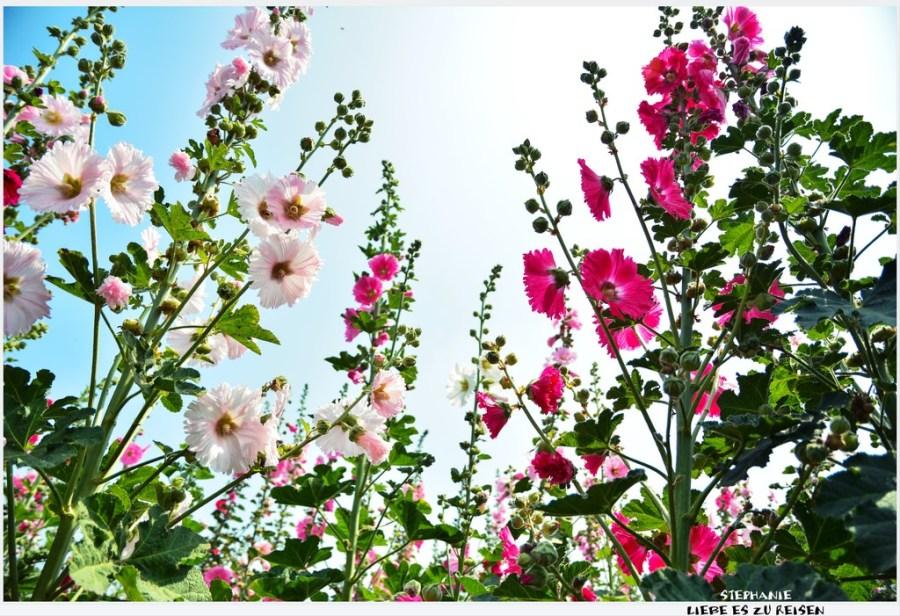 |台南‧學甲|2014年唸戀蜀葵花,讓我們一起賞花趣