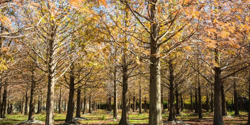|苗栗‧苑裡|無意間路過發現的美景,一個人享受這一大片落羽松秘境,怎麼拍都像明信片一般的景色