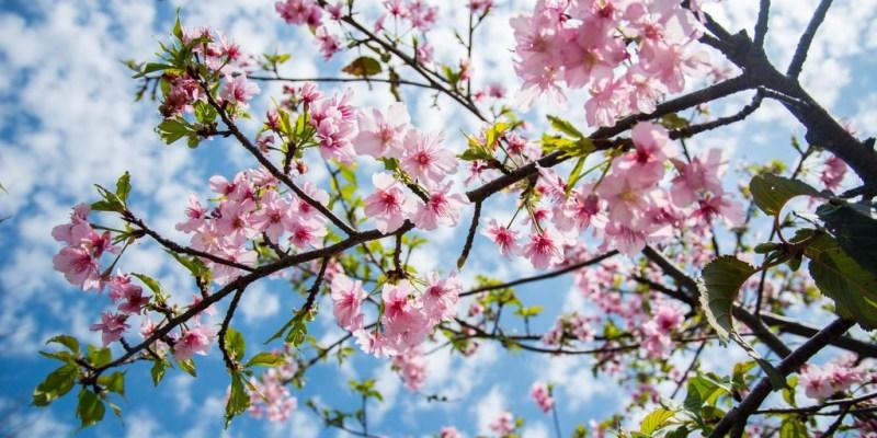  台中‧后里 賞櫻新景點,不需要跑很遠,在中科崴立機電就有一片櫻花園區