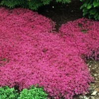 * CREEPING THYME MAGIC CARPET * LEMON SCENTED 25 SEEDS | eBay