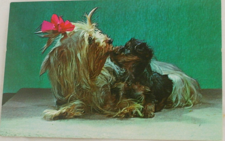 vintage postcard, Yorkshire Terrier, Louis Virginia Kay, dog