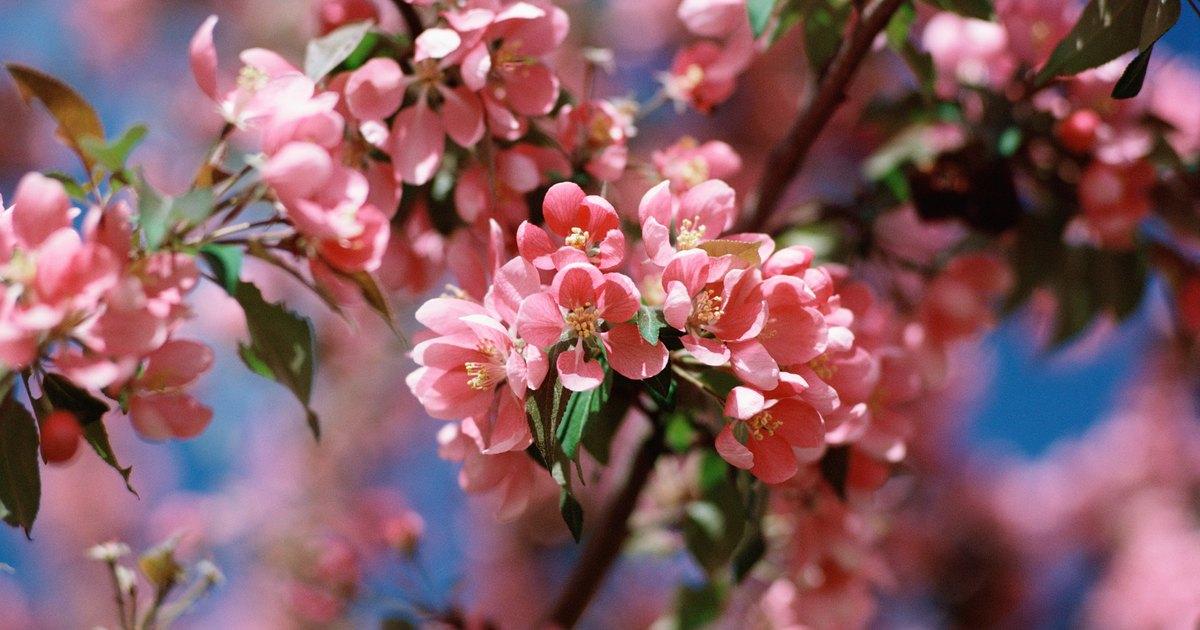 Flowering Cherry Tree Leaves Spots
