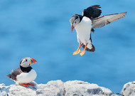The puffin populations have been decimated, passing in a few years from 15 0 ...