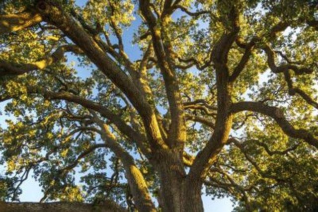 Oak Allergy Relief Methods   LIVESTRONG.COM