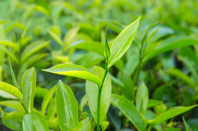 Image Result For How To Use Tea Tree Oil For Skin