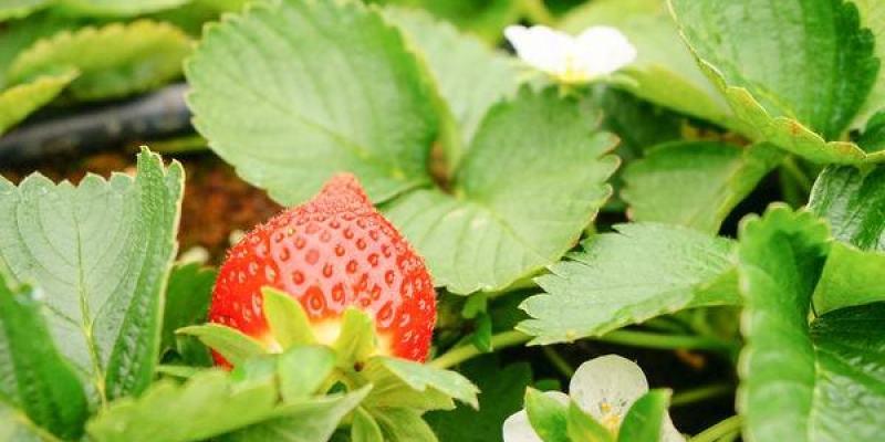【旅遊】大湖旅遊/吳家高架草莓園~採草莓去^^