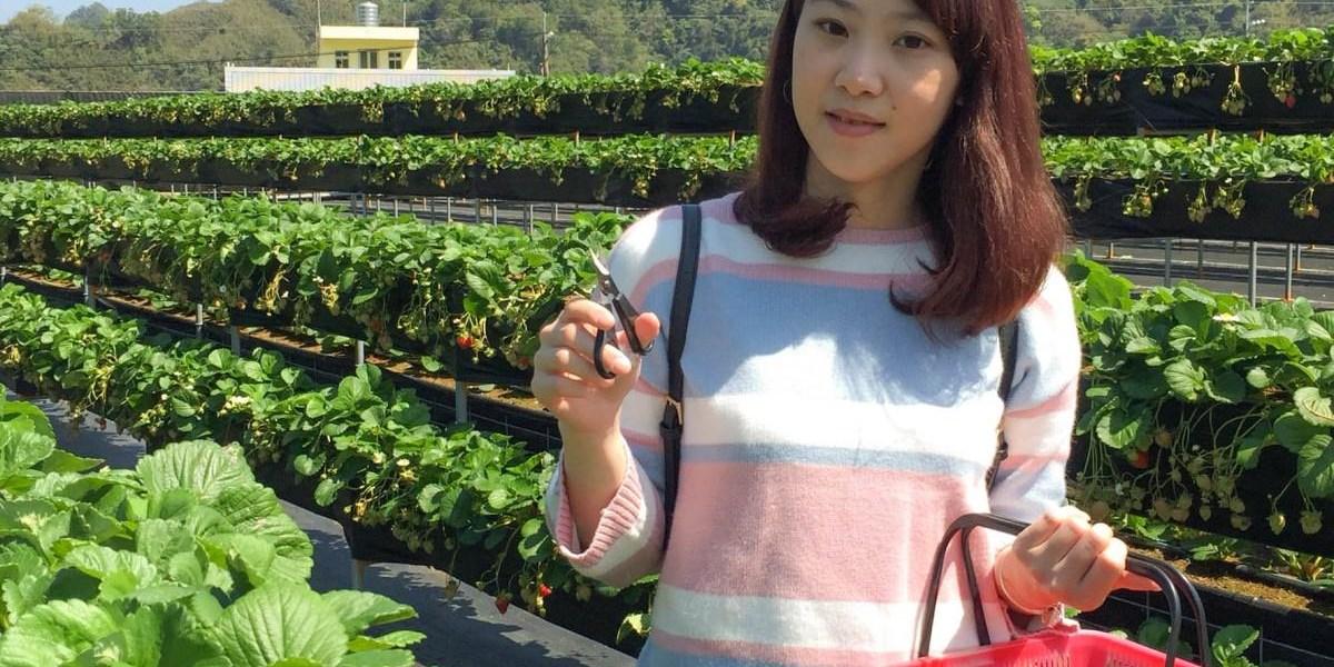 苗栗大湖草莓-有機無農藥有認證的安心莓-依虹高架草莓園
