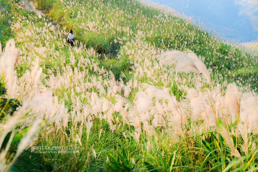 【新北】。樹林區三角埔頂山芒草大爆發!不在大同山上,拍攝滿山滿谷芒草