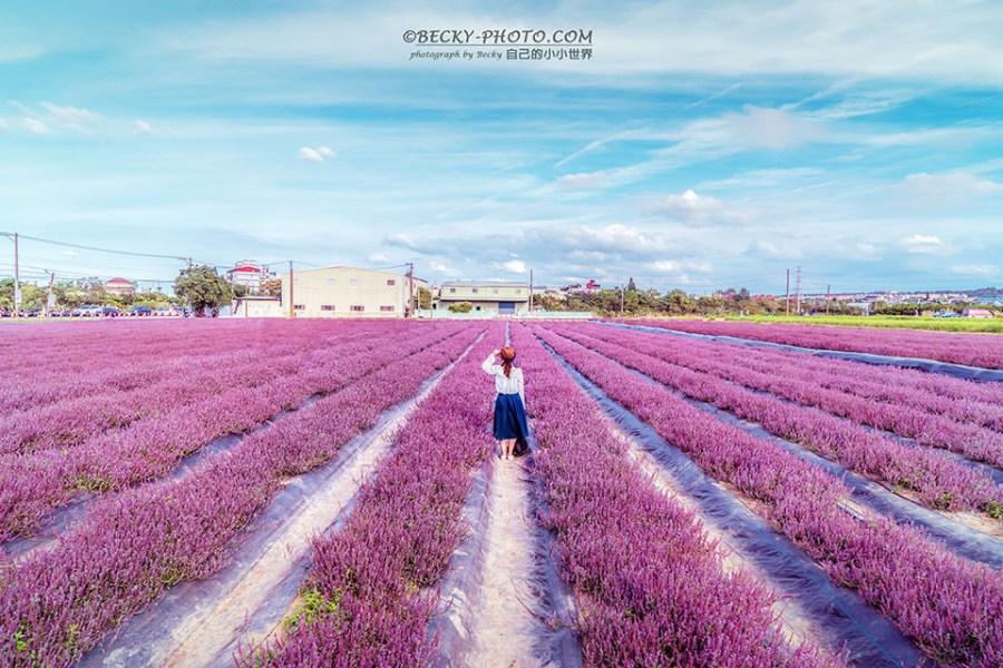 【桃園】。紫色花海仙草花拍照角度!桃園楊梅花彩節