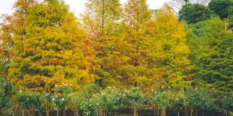 【雲林】。古坑景點 500個品種玫瑰花《NICE蘿莎玫瑰山莊》落羽松已變色!