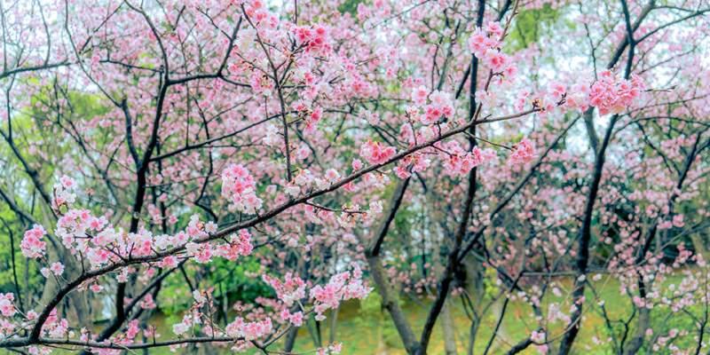 【桃園】。北部粉色櫻花開《桃園壽山巖觀音寺》吉野櫻粉浪漫!