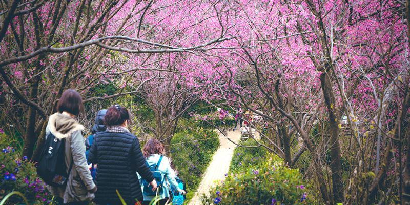 【新北】。土城櫻花步道杜鵑滿開《太極嶺登山步道》