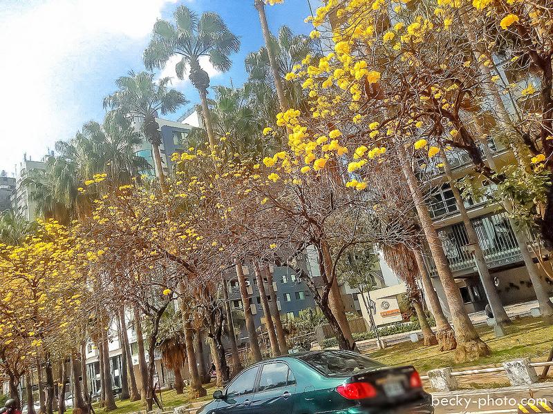 【台南】。巧遇台南街道上的浪漫黃色風鈴木* 一生一定要來看這場壯觀的「台南正統鹿耳門聖母廟高空煙火秀」