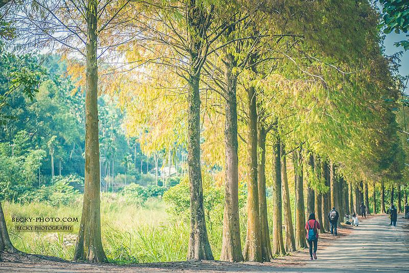 【雲林】。雲林古坑落羽松正美麗!桂林村落羽松祕境遊客少 - [自己的小小世界] 旅遊.攝影