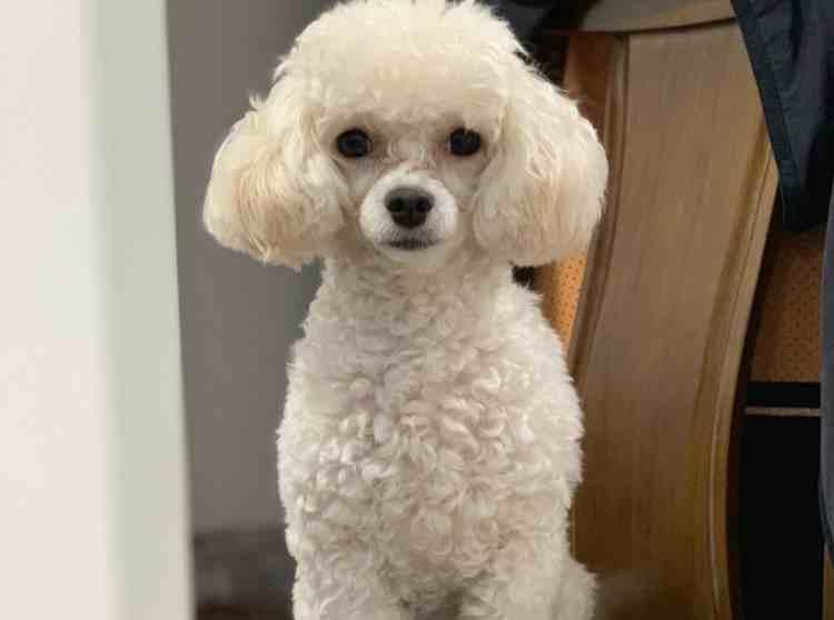 贵宾犬饲养指南,建议收藏