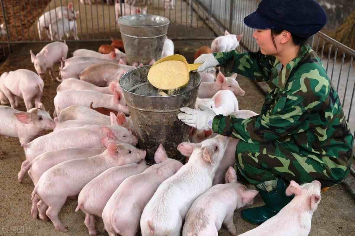 喂猪的4种方法和5大技术