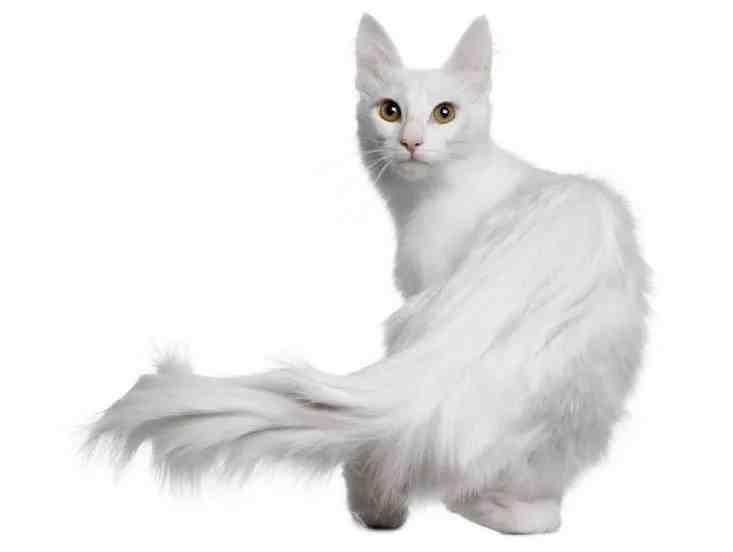 猫咪品种大盘点9:土耳其安哥拉猫