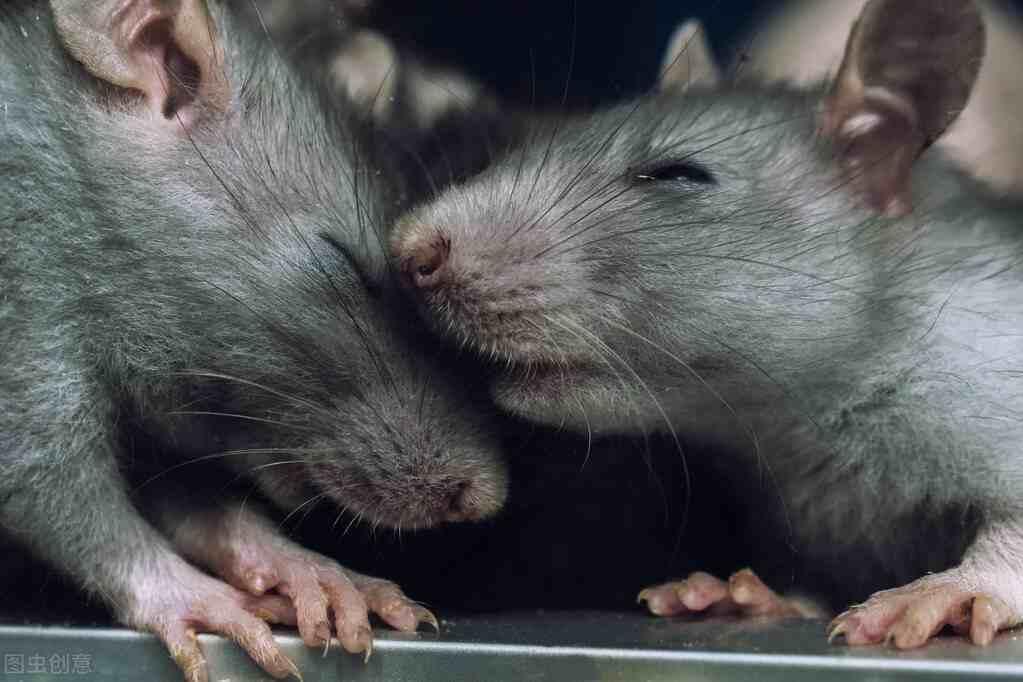 壹健康经验:怎么样才能赶走老鼠?老鼠会不会咬睡着的人