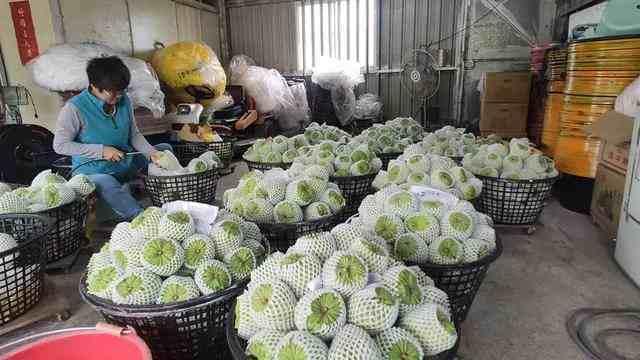 大洋臀纹粉蚧:让台湾水果接连扑街!它的危害究竟有多大?