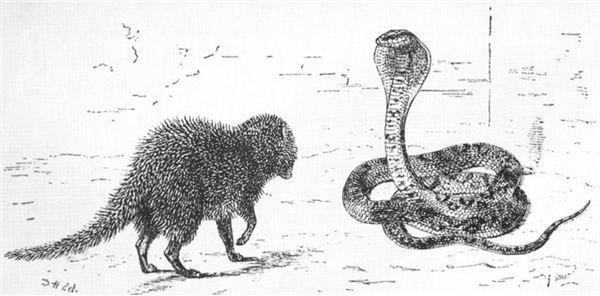 Information on the Mongoose Animal: Fun & Interesting
