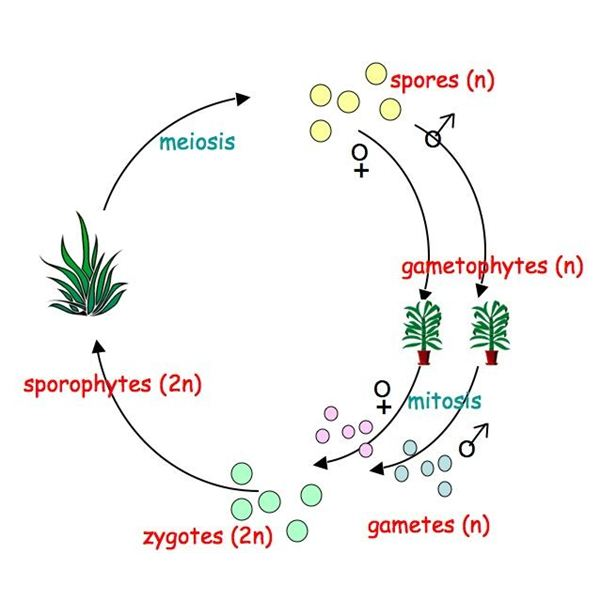 life cycle of a labeled moss diagram 2004 ford explorer wiring plant genetics an introduction to the plants alternation generations