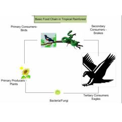 Tropical Rainforest Food Web Diagram Msd 6al Wiring Gm Hei How The Chain Works Basic In Rainforests