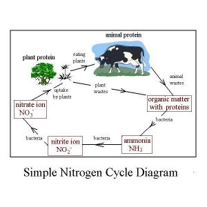 Easy Diagram of Nitrogen Cycle Shows Conversions in the