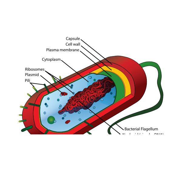 Prokaryotic Cell Structure The Features Of A Typical Prokaryotic Cell